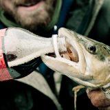 魚の止血剤に炭酸飲料は有効なのか?