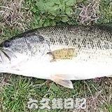 瀬田川釣果 49cm!! (bv六文銭)
