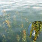 琵琶湖エビ藻写真