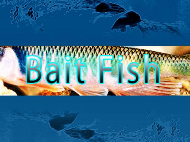 bait-fish-biwako-shousai