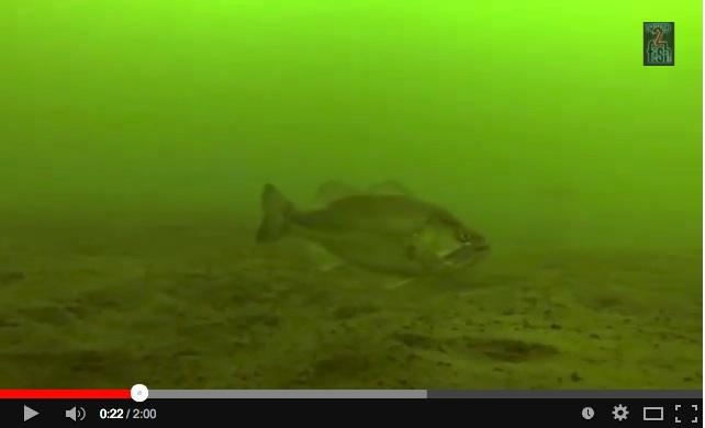 bass under water