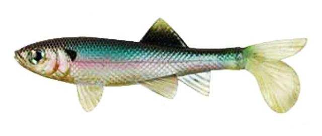 berkley sick fish tuhan