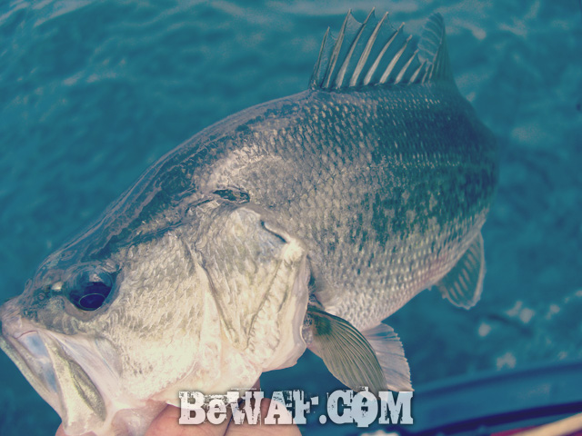 biwako bass fishing guide kakuyasu 15