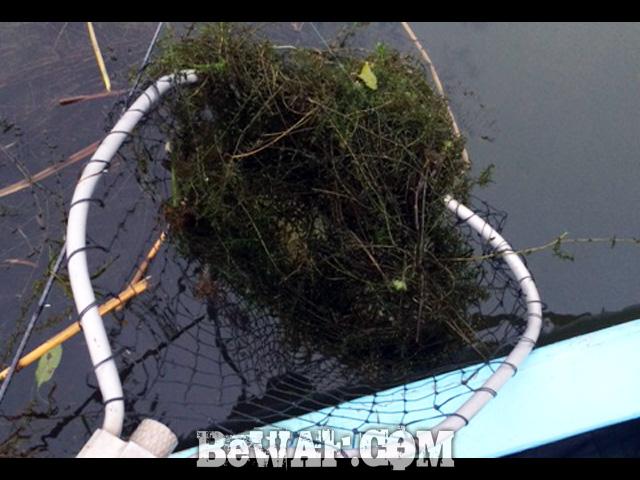 frog bass chouka biwako-3