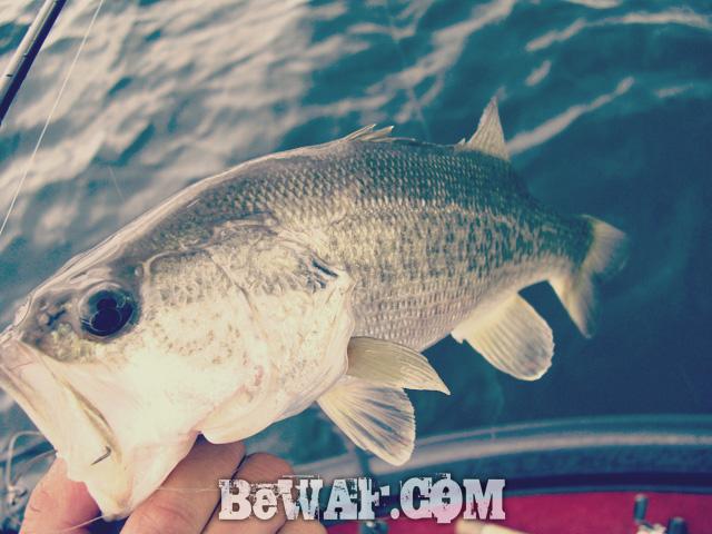 biwako bass fishig guide service 10