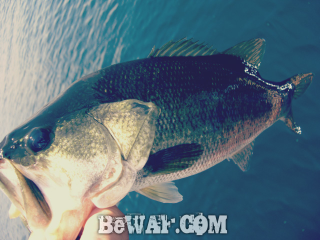 biwako black bass evergreen guide daiwa zillion 16