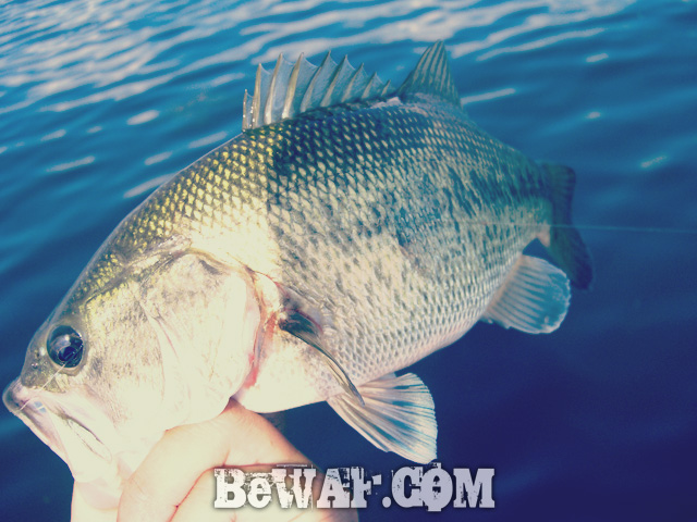 biwako black bass evergreen guide daiwa zillion 6