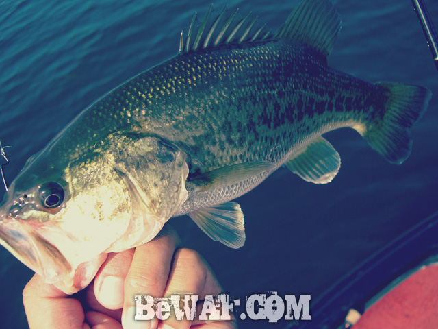 biwako black bass evergreen guide daiwa zillion 7