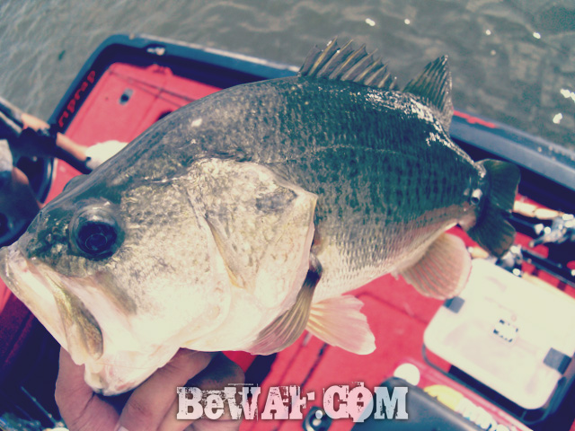 biwako black bass jackall deps guide16