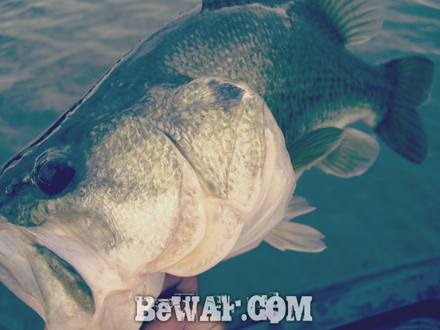 biwako bass fishing guide service 12