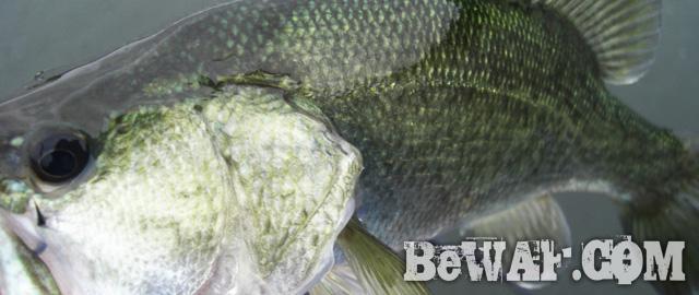 biwako bass fishing guide service 22
