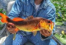 オレンジ色のラージマウスバスが釣れる!! (米フロリダ) 2