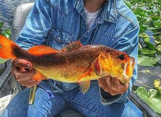オレンジ色のラージマウスバスが釣れる!! (米フロリダ)