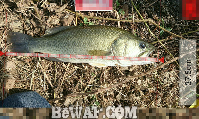 お客様からの釣果:中居様~クランクで37.5cm!! 1