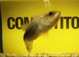 検証:魚には味覚や臭いを判断できるのか? (バークレー)