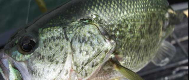 biwako bass chouka shousai 14
