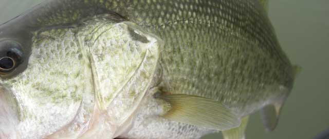 29-biwako-bass-guide-chouka-ayu-patern