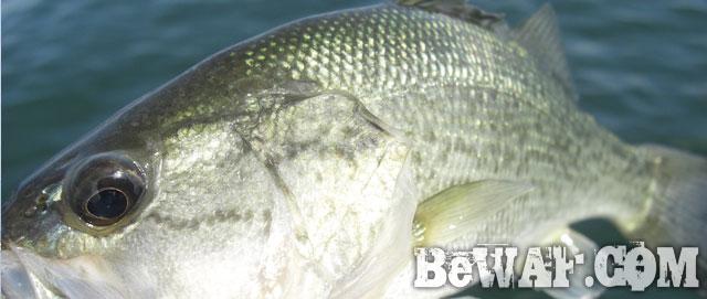 biwako bass fishing guide yasui ninki kakuyasu 16