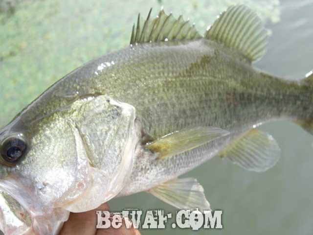 biwako guide yasui san bass fishing bunbun 10