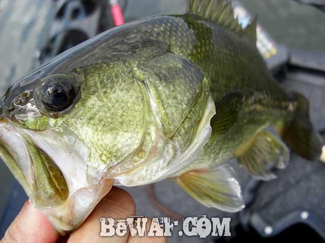 biwako guide yasui umai black bass blog 15
