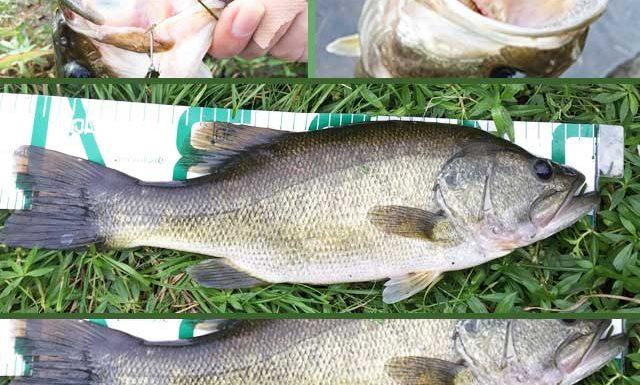 お客様からの釣果:里様~ 30~40cm x 4本 琵琶湖東岸陸っぱり 2