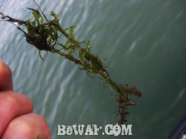 琵琶湖釣行 3月4日 コカナダモ写真