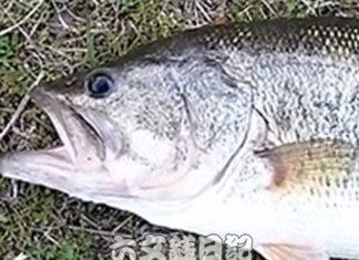 瀬田川釣果 57cm!! (bv六文銭) 琵琶湖春爆!! 2017年