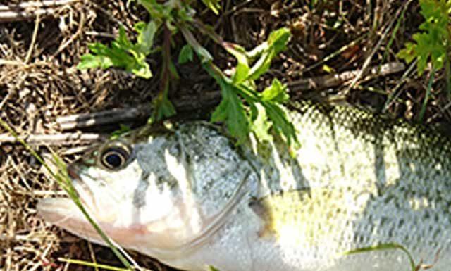 お客様からの釣果提供 琵琶湖おかっぱりで28cm 写真