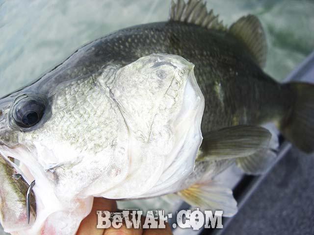 琵琶湖ラバージグ デカバス釣果写真