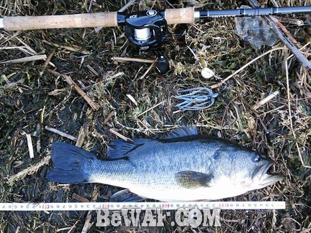 琵琶湖 上杉様 スピナーベイト釣果 写真
