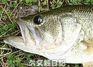 瀬田川おかっぱり釣果 45cm!! (bv六文銭) 2018年