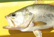 上杉様からの釣果 ウルトラバイブスピードクローにて 写真