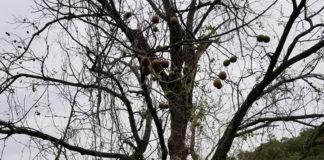 倒れそうなクルミの木 (リッククラン)写真