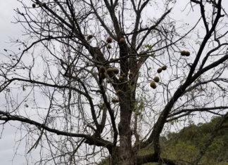 倒れそうなクルミの木 (リッククラン)