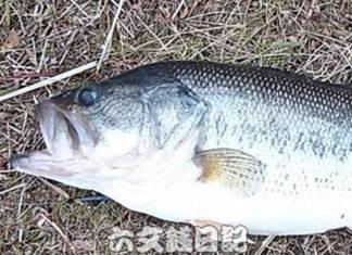 瀬田川おかっぱり釣果 53cm!! (bv六文銭)
