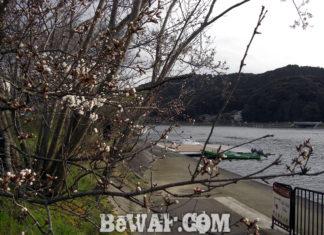瀬田川へ (3月28日)桜が咲いてきたヨ