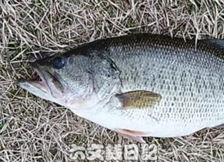瀬田川おかっぱり釣果2019年 写真
